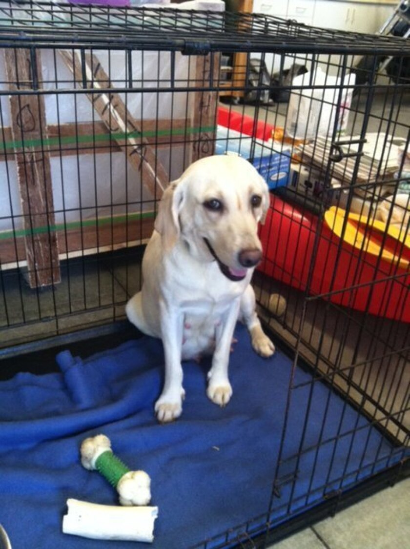 "The Labrador Rescuers' April 18 ""Wild West Bets for Pets"" event will support rescue dogs like Cali."