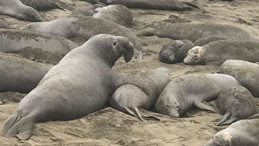 A male elephant seal mounts a female at Piedras Blancas Beach, home base for thousands of elephant seals. A walkway lets visitors get within yards of the creatures.