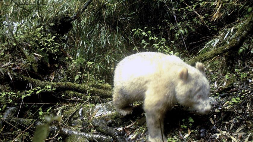 In this April 20, 2019, photo released by Wolong National Nature Reserve, an all white giant panda i