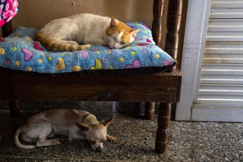 Un gato y un perro duermen en la casa de Lourdes Ortega, quien trabaja cuidando a las mascotas mientras sus dueños están fuera, en La Habana, Cuba. Una creciente clase media alta de Cuba muestra un especial interés por los perros y gasta sumas de dinero relativamente grandes para consentirlos. (AP Foto/Desmond Boylan)