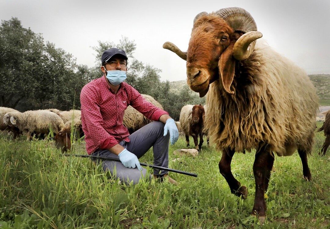 PALESTINE: A shepherd wearing a protective mask and gloves, tends to his sheep near the village of Tarqumia near the West Bank town of Hebron, on April 5,2020, amid the novel coronavirus pandemic crisis.