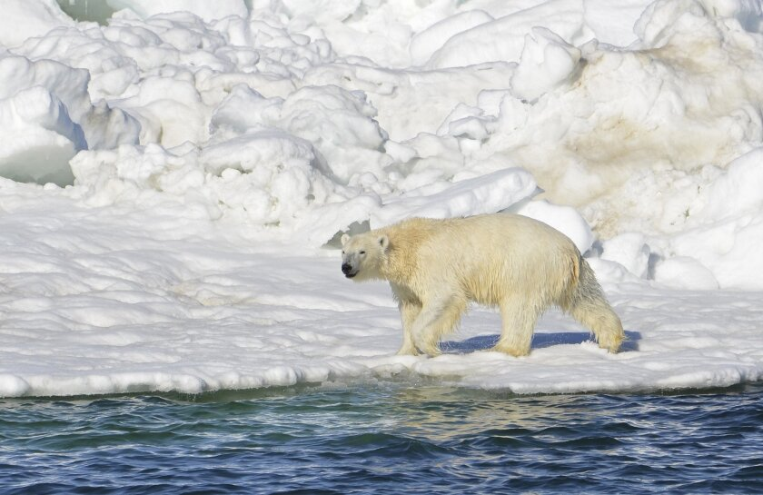 A polar bear dries off after taking a swim in the Chukchi Sea in Alaska. The U.S. Interior Department has said updated scientific models don't bode well for polar bear populations across the world, especially in Alaska, the only state in the nation with the white bears.
