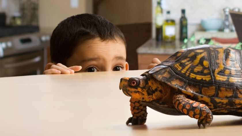 A boy looks at his pet tortoise.