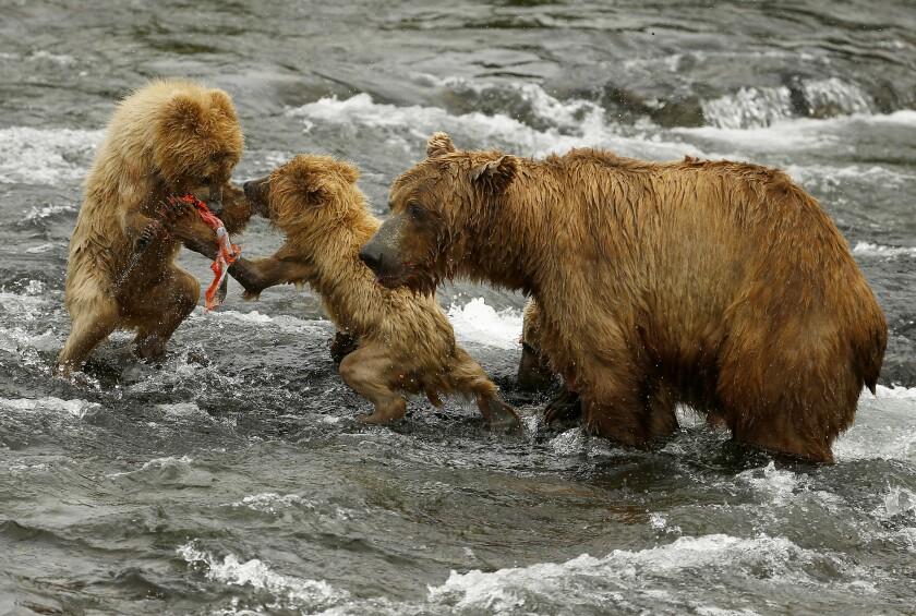 Bear cubs fighting over a sockeye salmon in Alaska's Katmai National Park