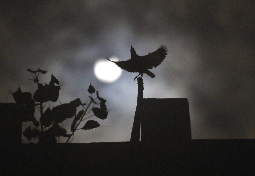 A crow sits on roof of a house as the sun forms crescent during solar eclipse in New Delhi, India, Sunday, June 21, 2020. (AP Photo/Manish Swarup)