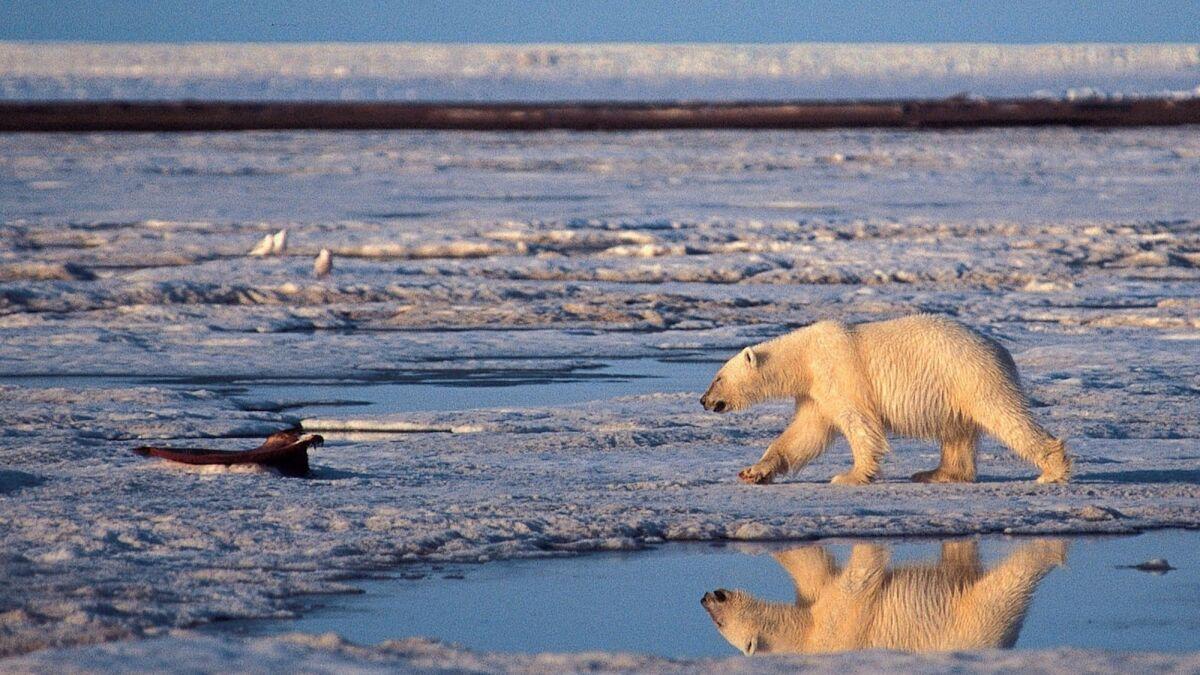 Climate Change Polar Bear Rubber Stamp