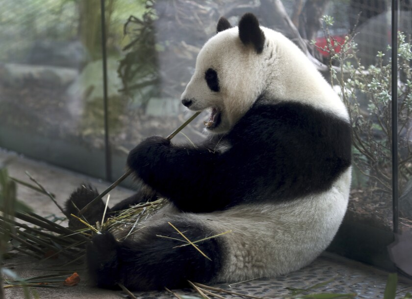 FILE -- In this Friday, April 5, 2019 file photo taken trough a window female panda Meng Meng eats bamboo at its enclosure at the zoo in Berlin, Germany. Berlin's zoo is hoping to hear the patter of tiny panda paws soon. The zoo posted on Facebook a few seconds of footage from an ultrasound scan Tuesday of its 6-year-old Meng Meng, which it said shows 'a mini-panda with its heart beating fast'.