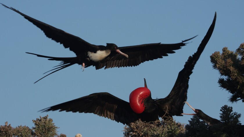 A male frigate bird displays his red throat pouch as a female bird flies above him.