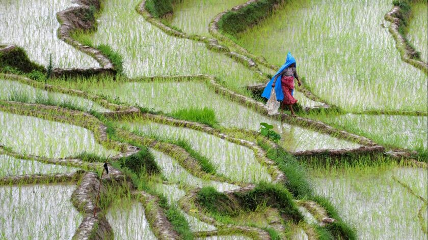 Agriculture, including growing rice in flooded fields, is one of the biggest sources of human-caused methane emissions.