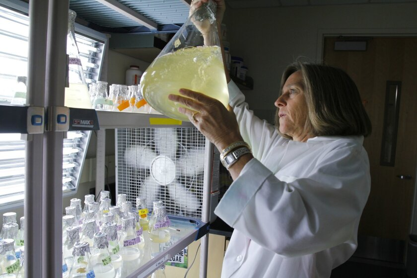 "Betsy Read, a professor of molecular cell biology at CSUSM, examines a solution of Emiliania huxleyi. Read led an international team of researchers who sequenced a ""pan genome"" for the organisms. Photo courtesy of Cal State San Marcos."