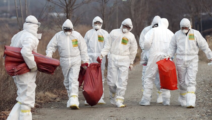Health officials carry a sack containing dead chickens on Dec. 26, 2016, after the birds were slaughtered at a chicken farm where a suspected case of bird flu was reported in Incheon, South Korea.