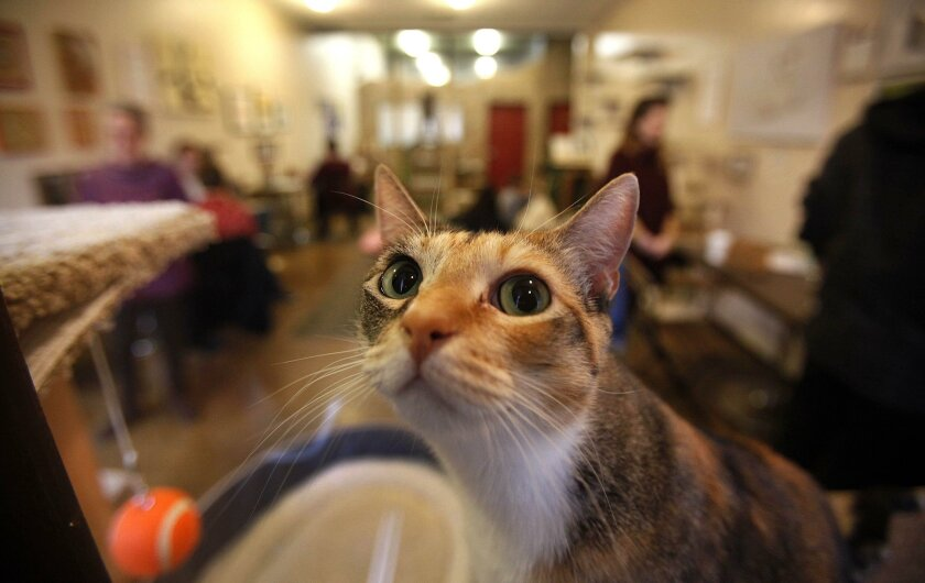 Kookiez is one of the cats at the Cat Cafe in downtown San Diego , which has been open for about a year.