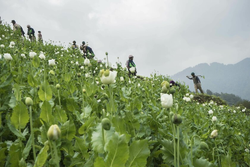 In this Wednesday, Feb. 3, 2016 photo, community based anti-narcotic campaigners destroy a poppy cultivation near Lone Zar village in northern Kachin State, Myanmar. Anti-drug activists said Friday , Feb. 19, 2016, the military and local police are preventing them from destroying fields of opium po