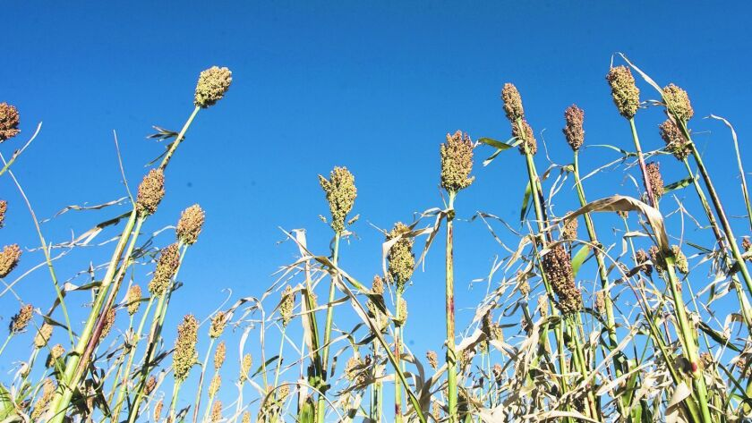 Stalks of sweet sorghum can grow up to 13 feet high. Utilities are looking to the plant as an energy
