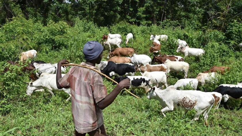 A shepherd watches his cows in June 2016 in the bush near Bouake, central Ivory Coast. According to specialists gathered in Abidjan, trade of cattle increased by nearly 20% in West Africa and represents an important source of income, ensuring food security for millions.