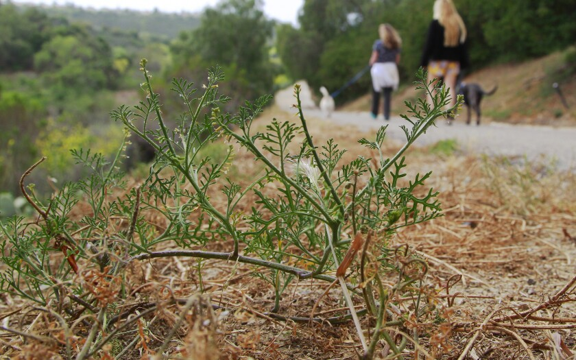 The invasive plant called Ward's weed sprouts along a hiking trail in the Bressi Ranch area of Carlsbad.