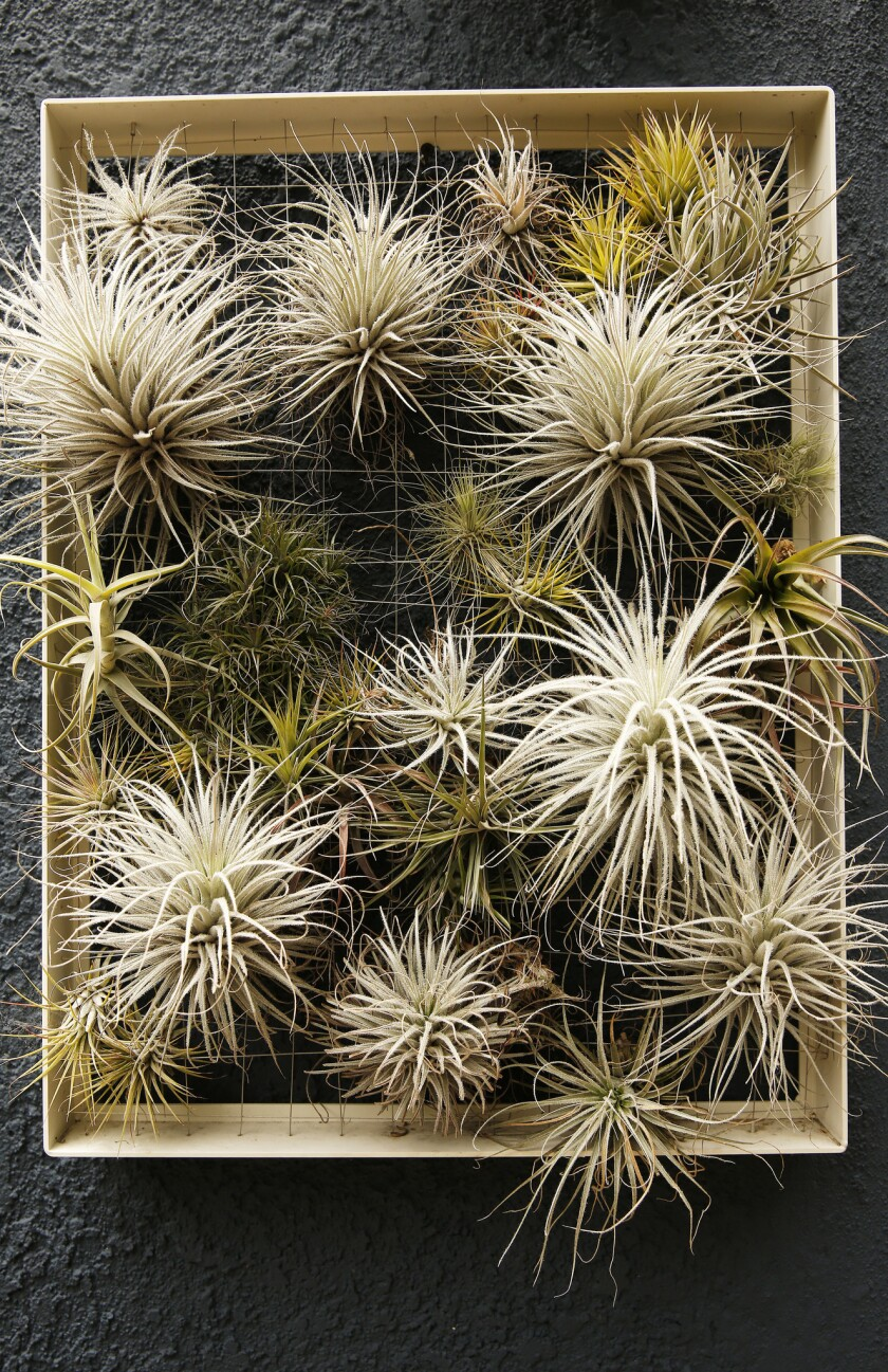 Why Air Plants Are The Solution To All Your Design Woes Los Angeles Times