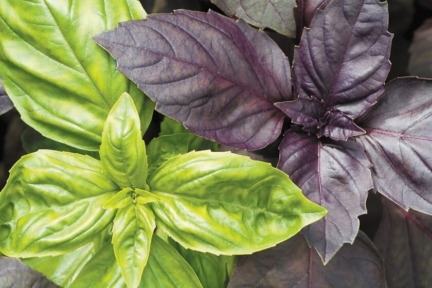 Basil comes in many types and is the perfect complement for homegrown tomatoes.