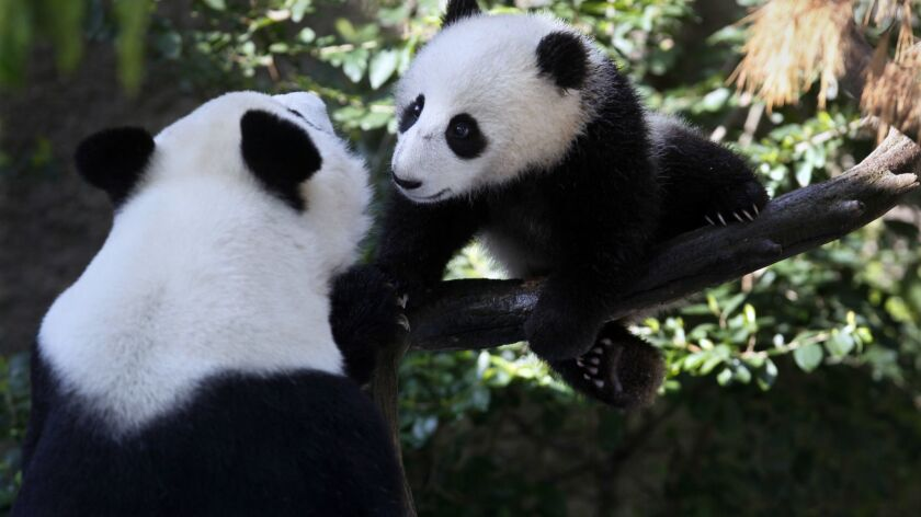 Baby panda Xiao Liwu, at 7 months, with mother Bai Yun at the San Diego Zoo in 2013.