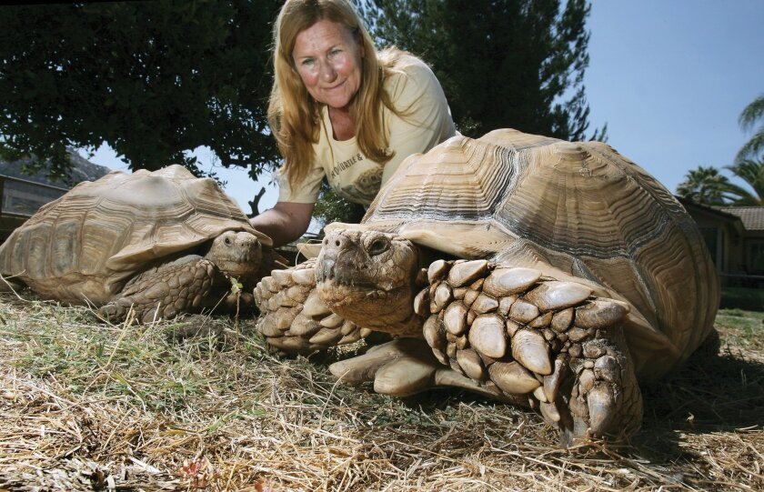 Ginny Stigen, president of the San Diego Turtle and Tortoise Society, with an African sulcata tortoise named Go Fast (right) and another smaller sulcata tortoise. Bill Wechter photos
