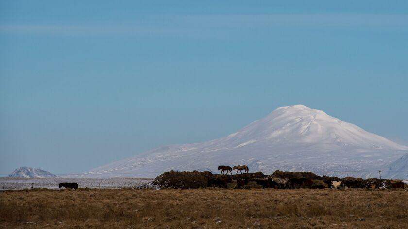 Icelandic horses roam at the base of the Hekla volcano.