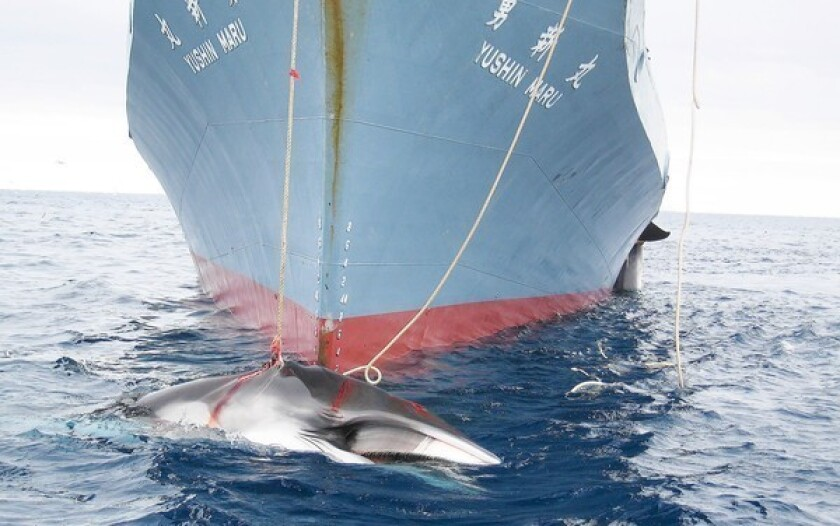 Whales are dragged aboard a Japanese ship after being harpooned in Antarctic waters.