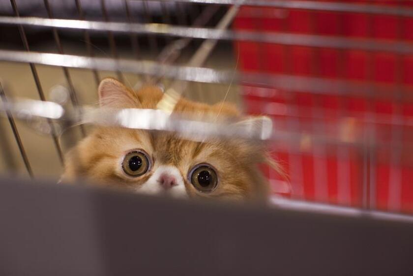 Vista de un gato persa. Aunque solo el 55 % de los estadounidenses lo celebran, el gasto por el Día de los Enamorados en el país llegará este año a 19.600 millones de dólares, lo que significa un promedio de 143,56 dólares por persona, una generosidad de la que se benefician también las mascotas. EFE/Archivo