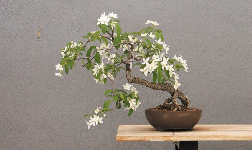 This Malus slant style bonsai blooms in spring in New York City.