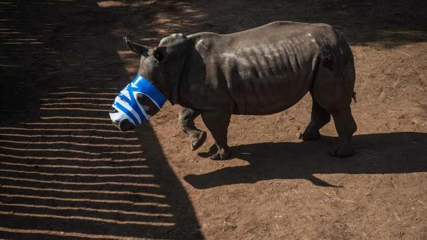 A rhinoceros that had its horn cut off by poachers recovers at a ranch in South Africa.
