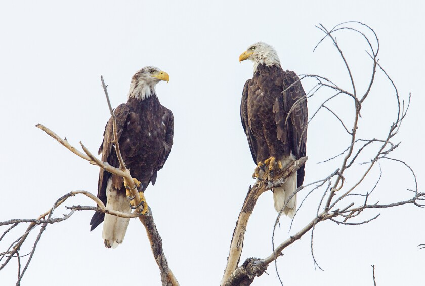 Two Bald Eagles sit perched on a tree along Highway 79 just north of Highway 78 in Santa Ysabel.