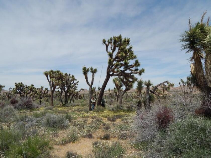 El árbol de Joshua en riesgo de extinción para finales de siglo