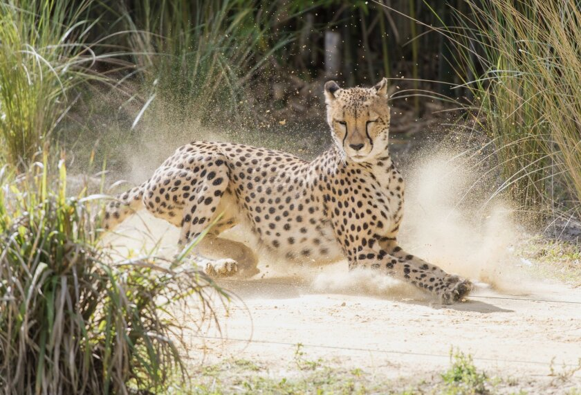 """This 2015 photo provided by Nat Geo Wild shows a cheetah during """"Big Cat Games"""" in Busch Gardens Tampa. From extreme speed to bone crushing bites, Big Cats are some of the most impressive predators on the planet. Host Boone Smith creates testing challenges for these Big Cats - cheetah's, tigers and lions line up for a unique competition. Nat Geo Wild airs a live safari as part of its Big Cat week, airing Nov. 27-Dec. 2, 2015. (Bob Croslin/Nat Geo Wild via AP)"""