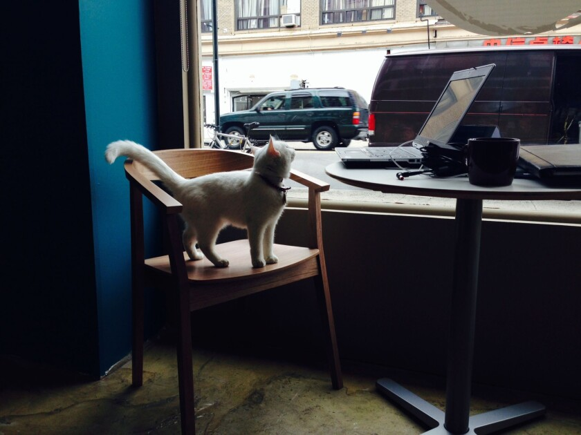 A cat in a New York City cat cafe may or may not check out what's on the screen.