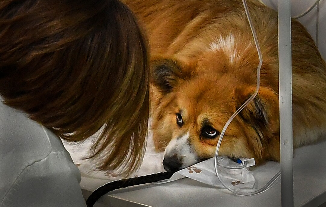"RUSSIA: A woman looks at her dog during a treatment procedure at ""ZooAcademy"" veterinary clinic in Moscow on April 21, 2020, during a strict lockdown in Russia to stop the spread of the COVID-19 coronavirus."