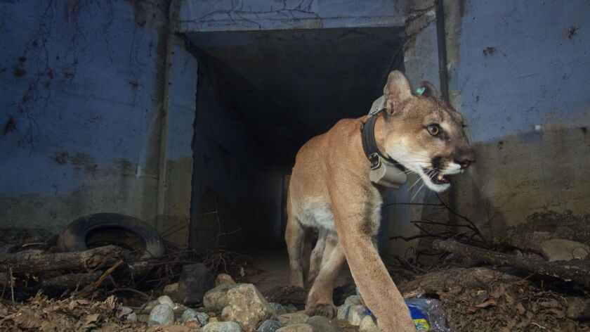 P-64, the mountain lion known for his successful freeway crossings, found dead after surviving Woolsey fire