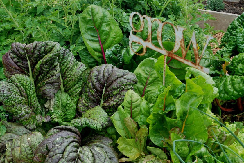 Periodically pick a few leaves of lettuce, kale and other leafy greens, and the plants will keep growing.