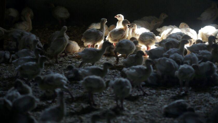 Turkeys stand inside a barn at a turkey farm in Iowa on Aug. 10, 2015.