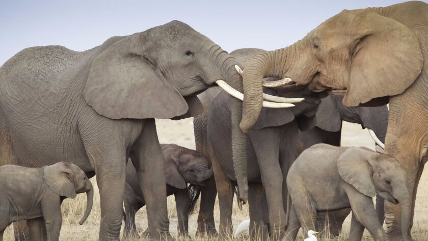 Trump to allow elephant trophies being brought to the US, Amboseli, Kenya - 09 Oct 2013
