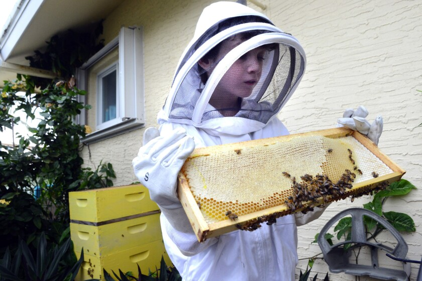 Benjamin Oppenheimer, Florida's youngest licensed beekeeper at age nine, shakes bees from the comb as he harvests honey from his backyard hive in Boca Raton in 2014.