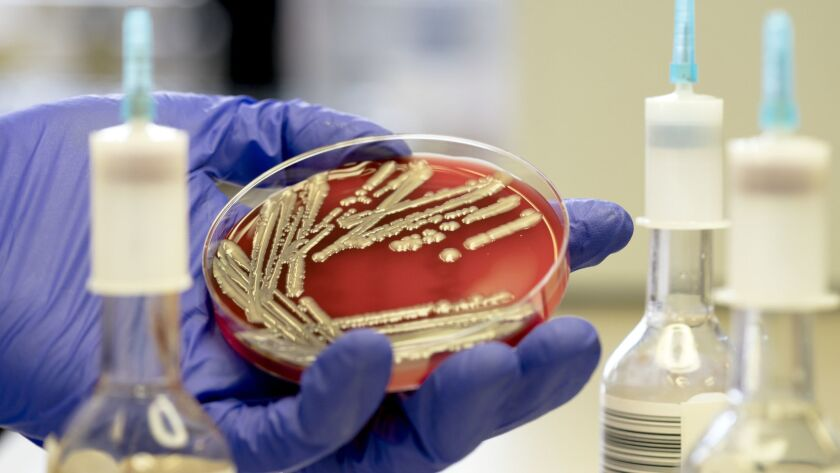 Superbug in a petri dish