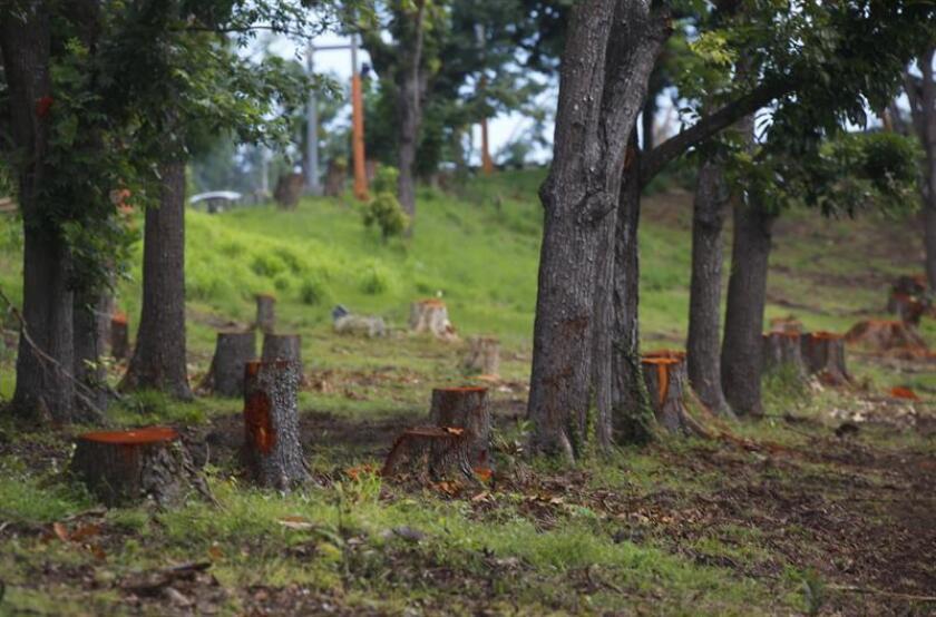 """El grupo ambientalista puertorriqueño Para La Naturaleza anunció hoy que su programa """"Hábitat"""" promoverá la siembra de 750.000 árboles nativos y endémicos en diferentes partes de Puerto Rico, como parte de un plan de reforestación en la isla por la destrucción que provocaron los huracanes Irma y María. EFE/ARCHIVO"""