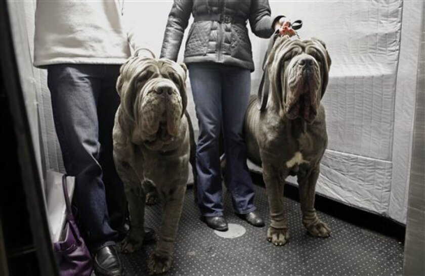 FILE- In this Feb. 10, 2013, file photo, a pair of Neopolitan Bull Mastifs named Paparazzi and Ruben ride the elevator with their owners after checking into the Hotel Pennsylvania in New York ahead of the 137th Annual Westminster Kennel Club Dog Show. Although some larger breeds like the Bull Masti