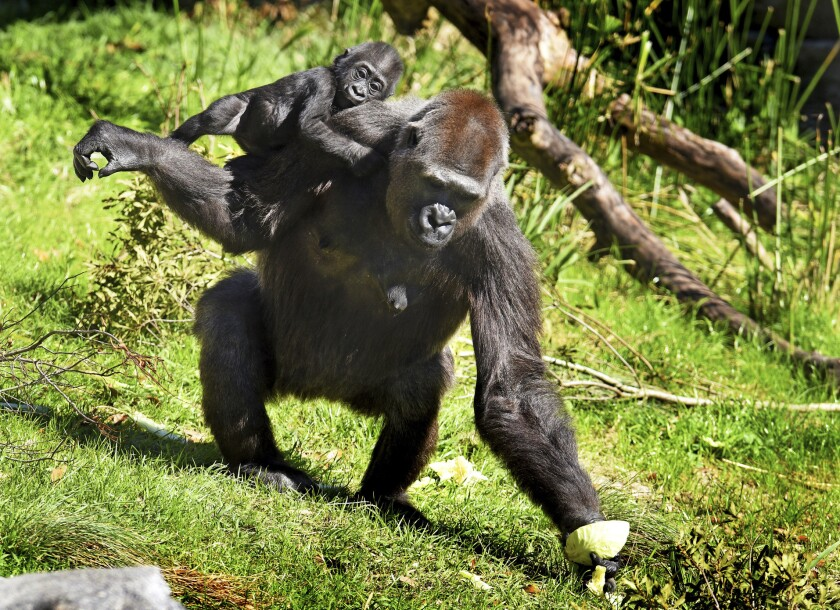 Gandai spends time with surrogate mother, Bulera, at the Jacksonville Zoo and Gardens.