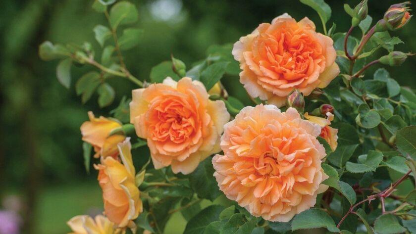 David Austin's Dame Judi Dench has beautiful apricot-orange rosette blooms with a fresh tea scent.