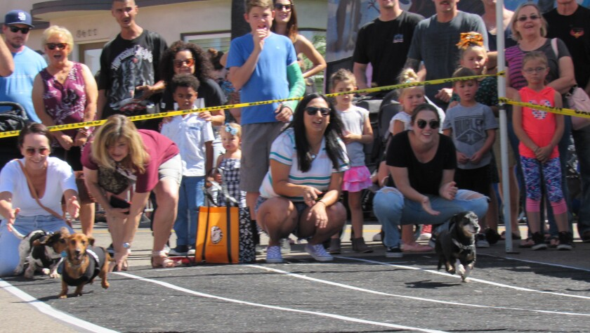 Dachshund races were popular draws over the weekend at the La Mesa Oktobefest. A power outage on Saturday night in downtown La Mesa forced some businesses to close early, but electricity was restored at 5 a.m. on Sunday, allowing the show to go on.