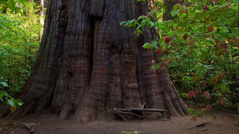 Giant Sequoia Redwood Tree at Calaveras Big Trees State Park. Credit: Mark Miller / Getty Images