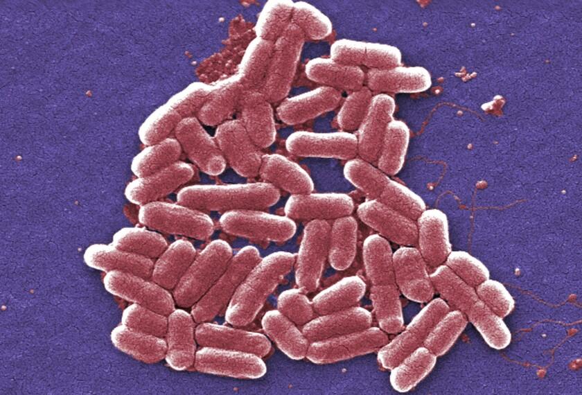 Un número creciente de bacterias de E. coli, mostradas en la imagen, son resistentes a la colistina, un antibiótico empleado como último recurso (Janice Carr / Associated Press).