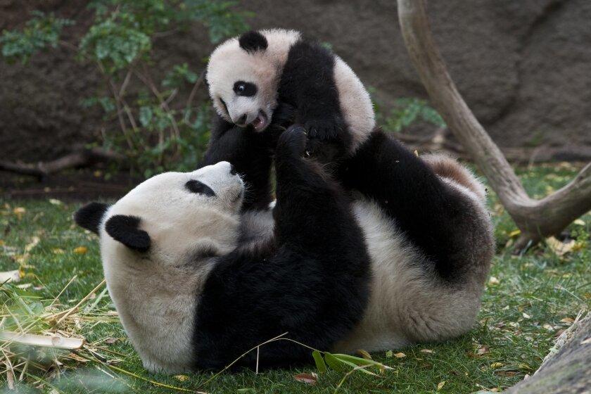 Panda_YunZi_BaiYun