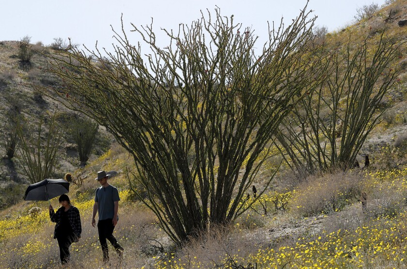 BORREGO SPRINGS, CALIF. - MAR. 13, 2019. Visitors walk through a hiillside of wildflowers and ocoti