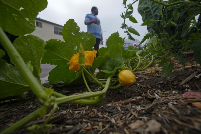 Residents from the neighborhood stop to look at the vegetables in Ron Finley's garden patch. Finley raises vegetables, flowers and some fruit in a garden on the side of his South Los Angeles home and shares his bounty with neighbors.